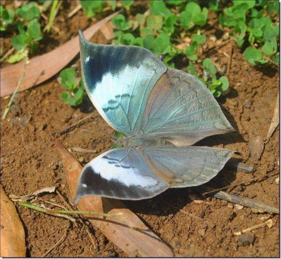 blue-oakleaf-open